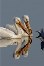 Preview iPhone wallpaper Pelican, lake, water reflection