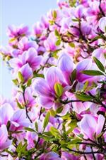 iPhone壁紙のプレビュー ピンクの花、モクレン、春