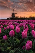 Preview iPhone wallpaper Pink tulips, flowers field, windmill, dusk