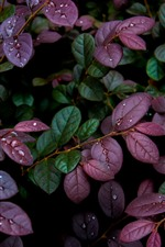 Purple and green leaves, water droplets