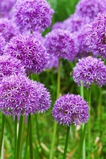 Preview iPhone wallpaper Purple onion flowers, spring