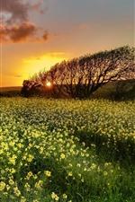 iPhone壁紙のプレビュー 菜種の花、木、夕焼け、空、雲