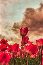 Red tulips fields, clouds, dusk