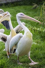 Some pelicans, bird, green grass