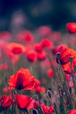 Preview iPhone wallpaper Spring flowers, red poppies