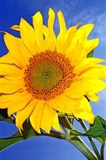 Sunflower, yellow petals, blue sky, sun rays