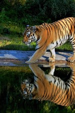 Preview iPhone wallpaper Tiger walking, pond, water reflection