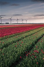 Preview iPhone wallpaper Tulips field, windmill