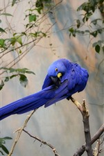 Preview iPhone wallpaper Two blue feather parrots