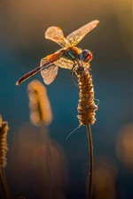 Preview iPhone wallpaper Two dragonflies, grass, summer