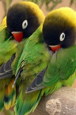 Preview iPhone wallpaper Two green parrots in sleeping
