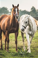 Preview iPhone wallpaper Two horses, white and brown
