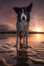 Wet dog front view, beach, sunset, sea