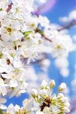 Preview iPhone wallpaper White apple flowers, blossom, spring, sun rays