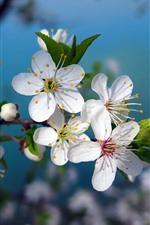 White cherry flowers bloom, spring