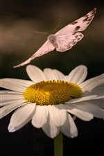 Margarida branca, borboleta, inseto