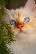 Preview iPhone wallpaper White furry kitten, face, look, eyes