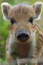Wildlife, little boar look at you