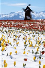 Preview iPhone wallpaper Windmill, tulips, snow, winter
