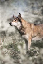 Preview iPhone wallpaper Wolf, wildflowers