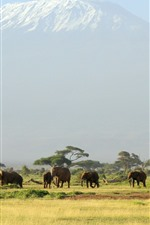 Preview iPhone wallpaper Africa, one flock of elephants
