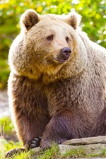 Preview iPhone wallpaper Brown bear, look, green, nature