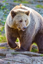Preview iPhone wallpaper Brown bear, wildlife, front view
