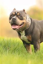 Bulldog, grass, hazy