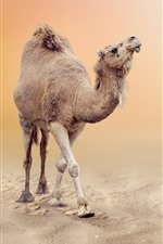 Camelo no deserto