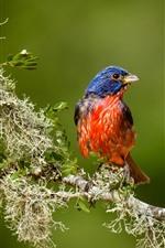 Cardinal bird, tree branch