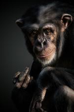 Preview iPhone wallpaper Chimpanzees, monkey, animal