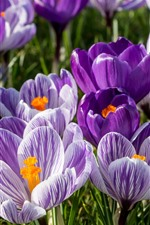 Crocuses, saffron, purple flowers, petals, spring