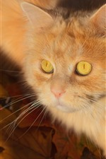 Preview iPhone wallpaper Cute kitten, furry cat, yellow eyes