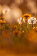 Preview iPhone wallpaper Dandelion, hazy, nature