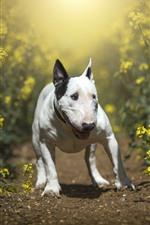 Dog, rapeseed flowers