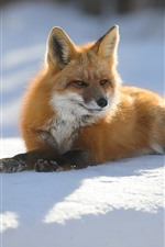 Preview iPhone wallpaper Fox, snow, sunshine, winter