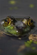 Frog, head, eyes, pond, water