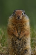 Preview iPhone wallpaper Gopher, standing up, wildlife