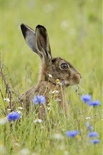Preview iPhone wallpaper Gray rabbit, hare, grass, blue flowers