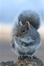 Preview iPhone wallpaper Gray squirrel, stay