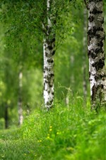 Green grass, birch, trees, summer