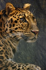 Preview iPhone wallpaper Leopard, rest, side view, look, wildlife