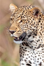 Preview iPhone wallpaper Leopard, wildlife, face