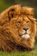 Preview iPhone wallpaper Lion, mane, wildlife, face