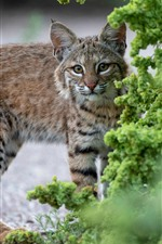 Preview iPhone wallpaper Lynx, wildcat, green plants