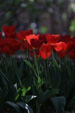 Muitas tulipas vermelhas, parque, nebuloso