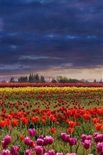 Muitas tulipas, flores coloridas, árvores, nuvens