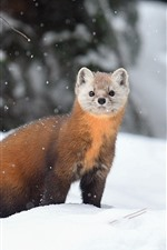 Marten, snow, winter, wildlife