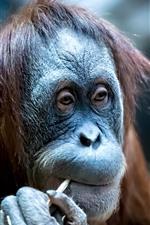 Orangutan, look, animal