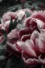 iPhone壁紙のプレビュー ピンクの牡丹、花びら、花、水滴、庭